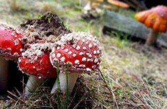 Оказание первой помощи при отравлении ядовитыми грибами